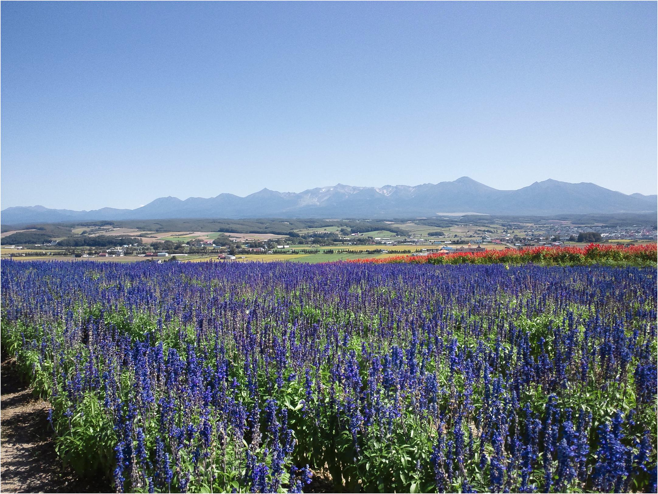 美瑛の丘に花畑を訪ねよう♪富良野から絶景ドライブして♪