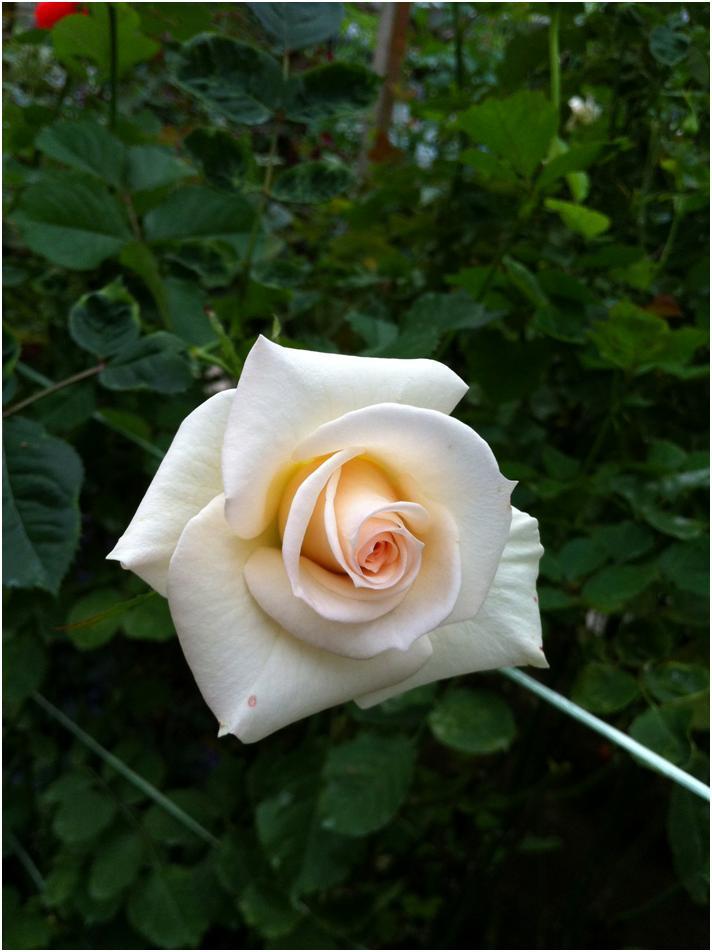 ローズガーデンの白いばら/ローズ・バレー、キャメロン・ハイランド