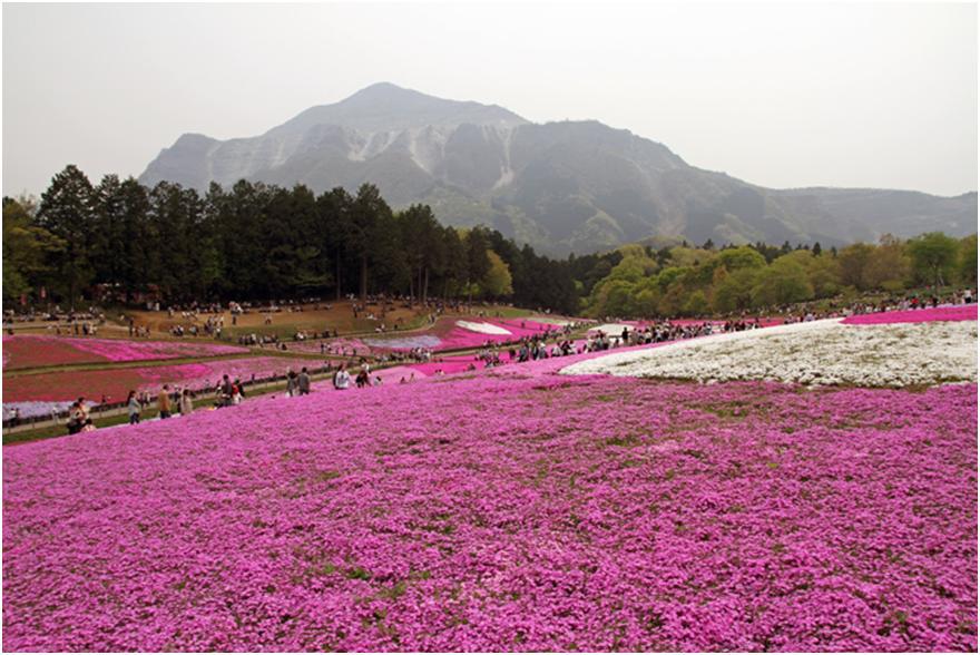 羊山公園で一面に広がる春の芝桜は必見!【埼玉・秩父】