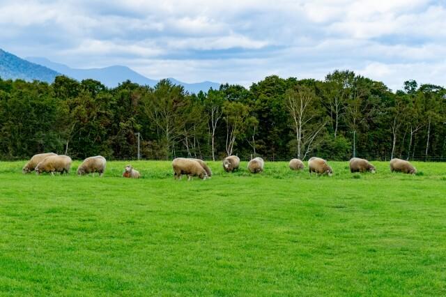羊が丘展望台の放牧地の羊たち