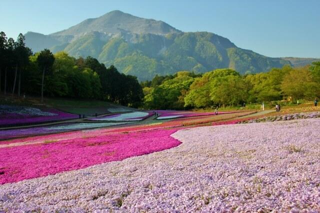 芝桜/羊山公園