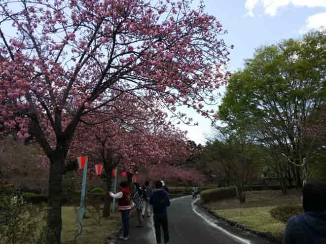 天平の丘公園(栃木県下野市)で色や形が見事な桜と自然を満喫!