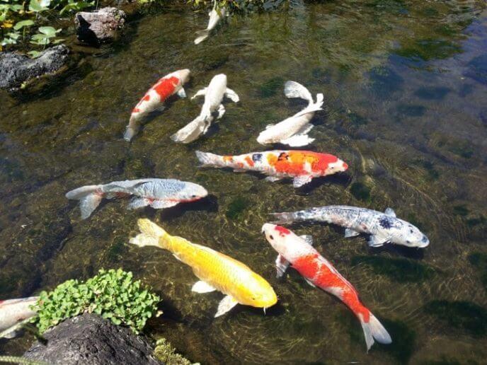 埼玉県羽生市にあるさいたま水族館の錦鯉