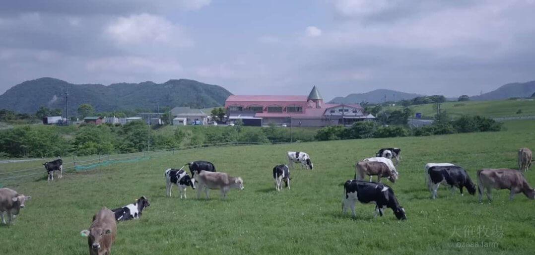 大笹牧場の広大な放牧場とブラウンスイス牛