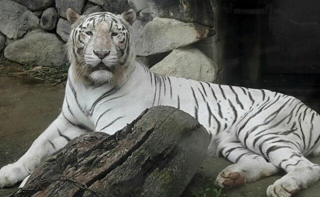人気が東武動物公園で人気が高いのがホワイトタイガー