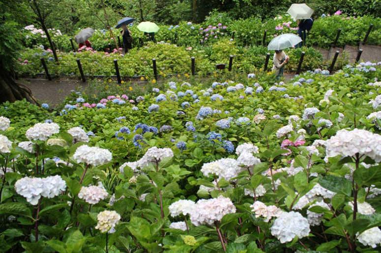 鎌倉の長谷寺の紫陽花の見頃開花時期