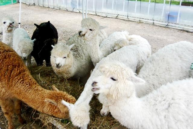 那須アルパカ牧場 アンデス山脈の可愛い動物に癒され観光