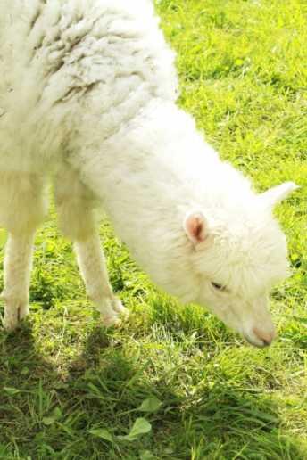 那須アルパカ牧場で飼育されているアルパカとは