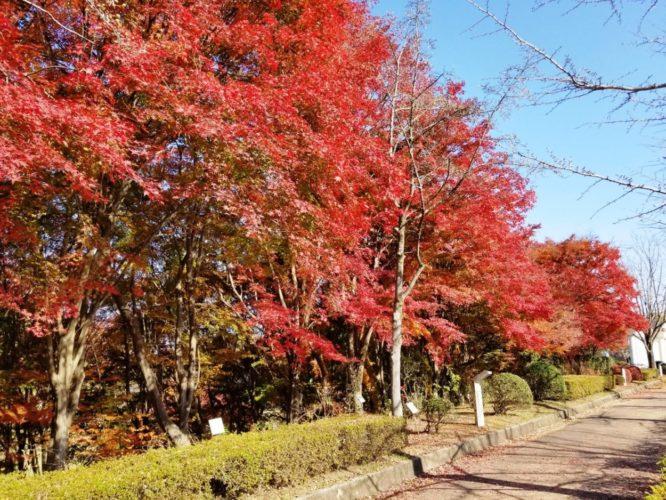 秩父ミューズパークのイチョウやもみじの紅葉は11月頃からが見ごろ