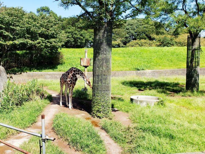 千葉市動物公園でライオン・チーターに大興奮・ふれあい体験も!